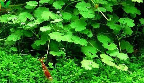 Rau má hương có màu xanh mướt, giúp tô điểm cho bể cá cảnh